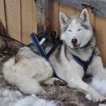 Husky Day DSC_3082 (Large)
