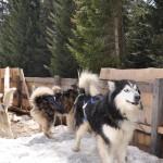 Husky Day DSC_3083 (Large)