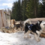 Husky Day DSC_3085 (Large)