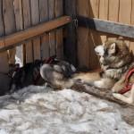 Husky Day DSC_3087 (Large)