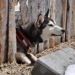 Husky Day DSC_3088 (Large)
