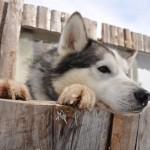 Husky Day DSC_3097 (Large)