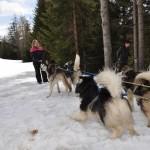 Husky Day DSC_3098 (Large)