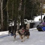 Husky Day DSC_3109 (Large)