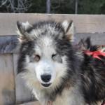 Husky Day DSC_3172 (Large)