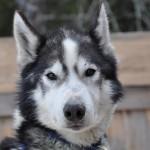 Husky Day DSC_3234 (Large)