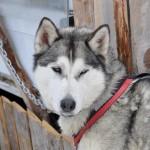Husky Day DSC_3235 (Large)